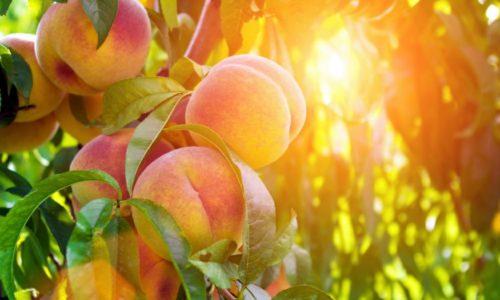 20160727 Peaches Shutterstock 321630848