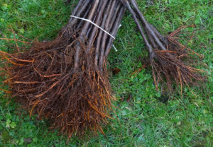 Hortgro Science Rootstocks