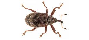 Hortgro Science Weevils