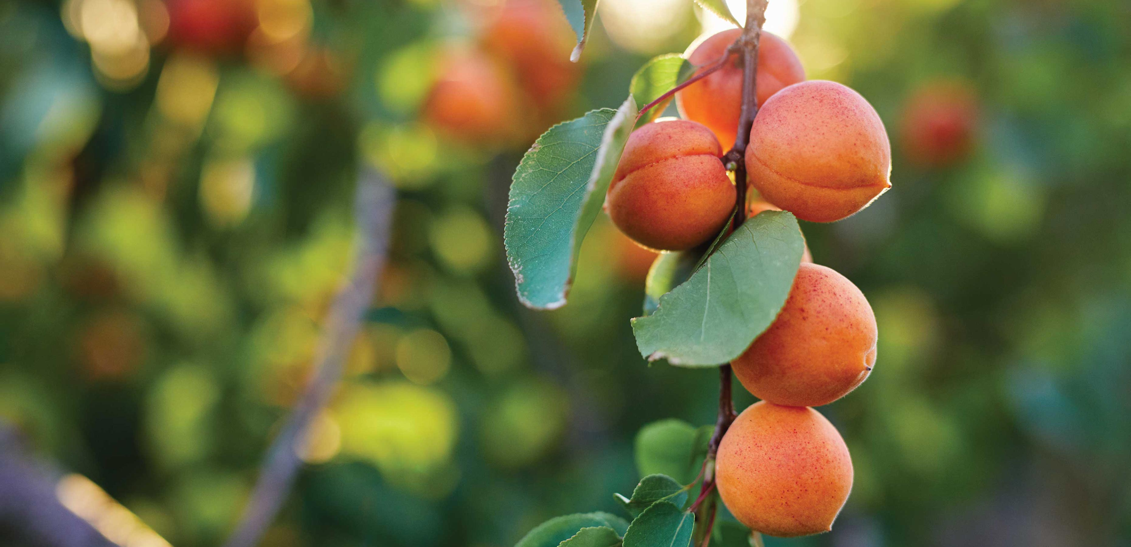 Hortgro Science Apricots Slide