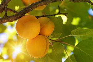 Hortgro Science Apricots On Tree