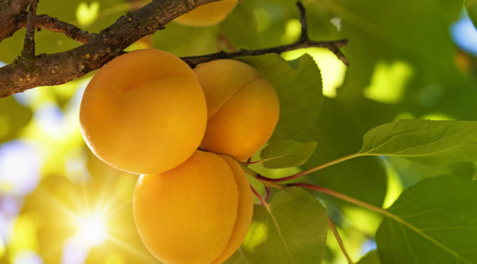 Hortgro Science Apricots On Tree