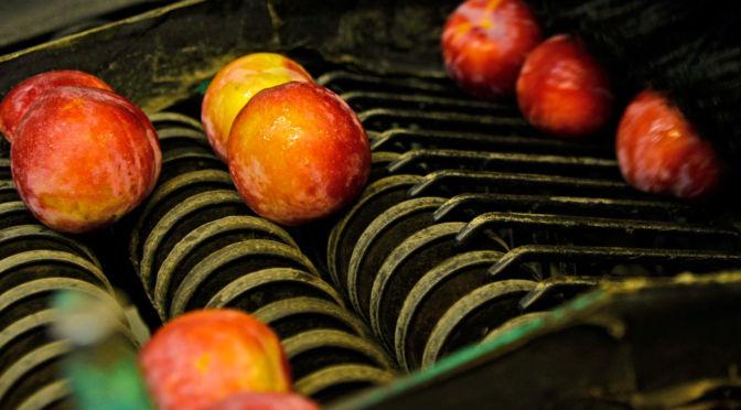 Stone Fruit 7560