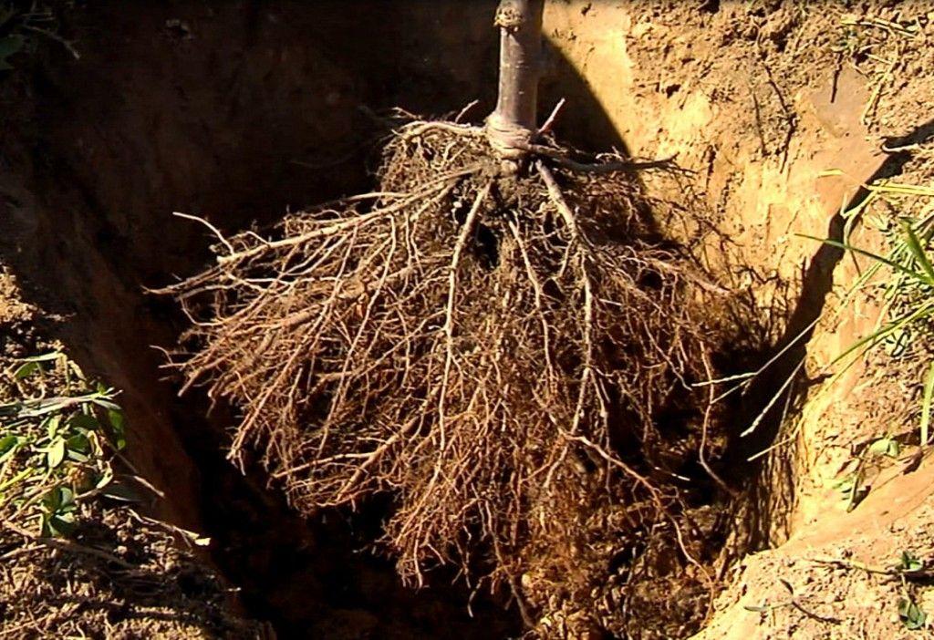 Bare Rooted Tree Hortgro